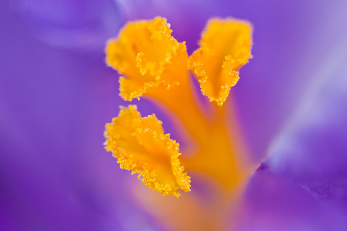 Crocus Flower shot with 100mm macro and extension tubes — Photo by Morgan Glines