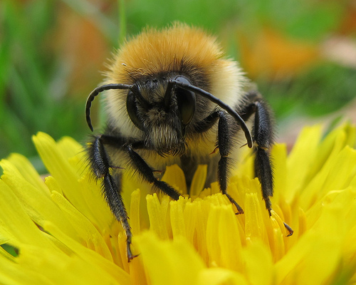 Bee on a Dandelion — Photo by John Spooner