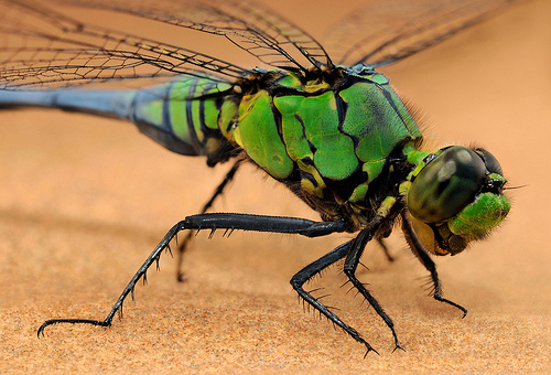 Eastern Pondhawk Dragonfly shot with macro lens and bellow - 15 images composited with a focus stacking program— Photo by Kevin Collins