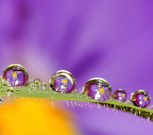 Pansies on dew drops — Photo by Dee Woltereck