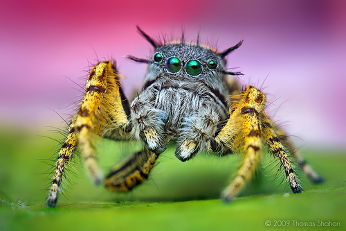 Adult Male Phidippus Mystaceus Jumping Spider taken with the 50mm reversed on extension tubes — Photo by Thomas Shahan