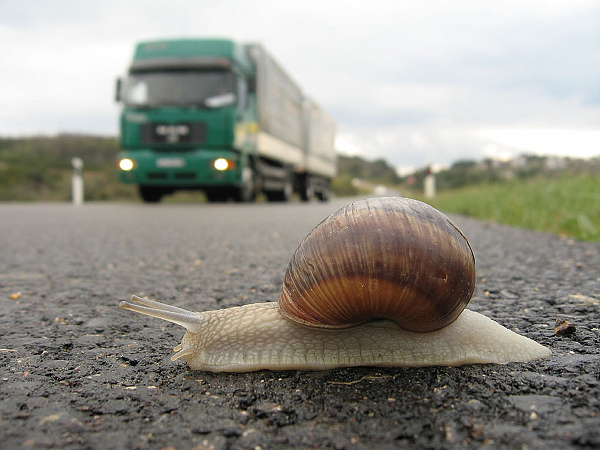 Snail in danger — photo by Robert Thomson